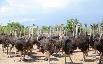 Discovering the biggest ostrich breeding center in Vietnam